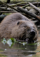 Bosch cameras capture rare beaver footage in demanding conditions