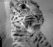 Axis network cameras capture birth of critically endangered species of Amur leopards