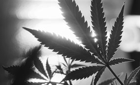 Cannabis and Security: Technology solutions provide protection for emerging legalised marijuana industry