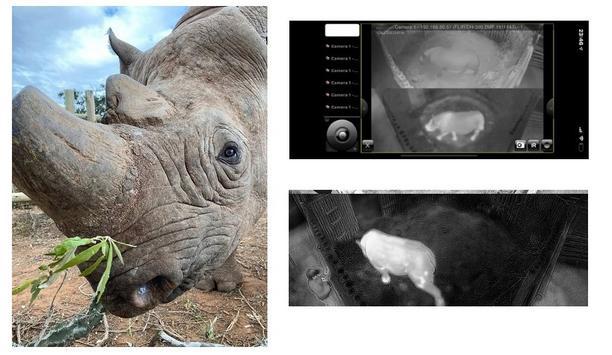 FLIR video security and perimeter protection solution secures Africa's endangered rhinos, like Munu